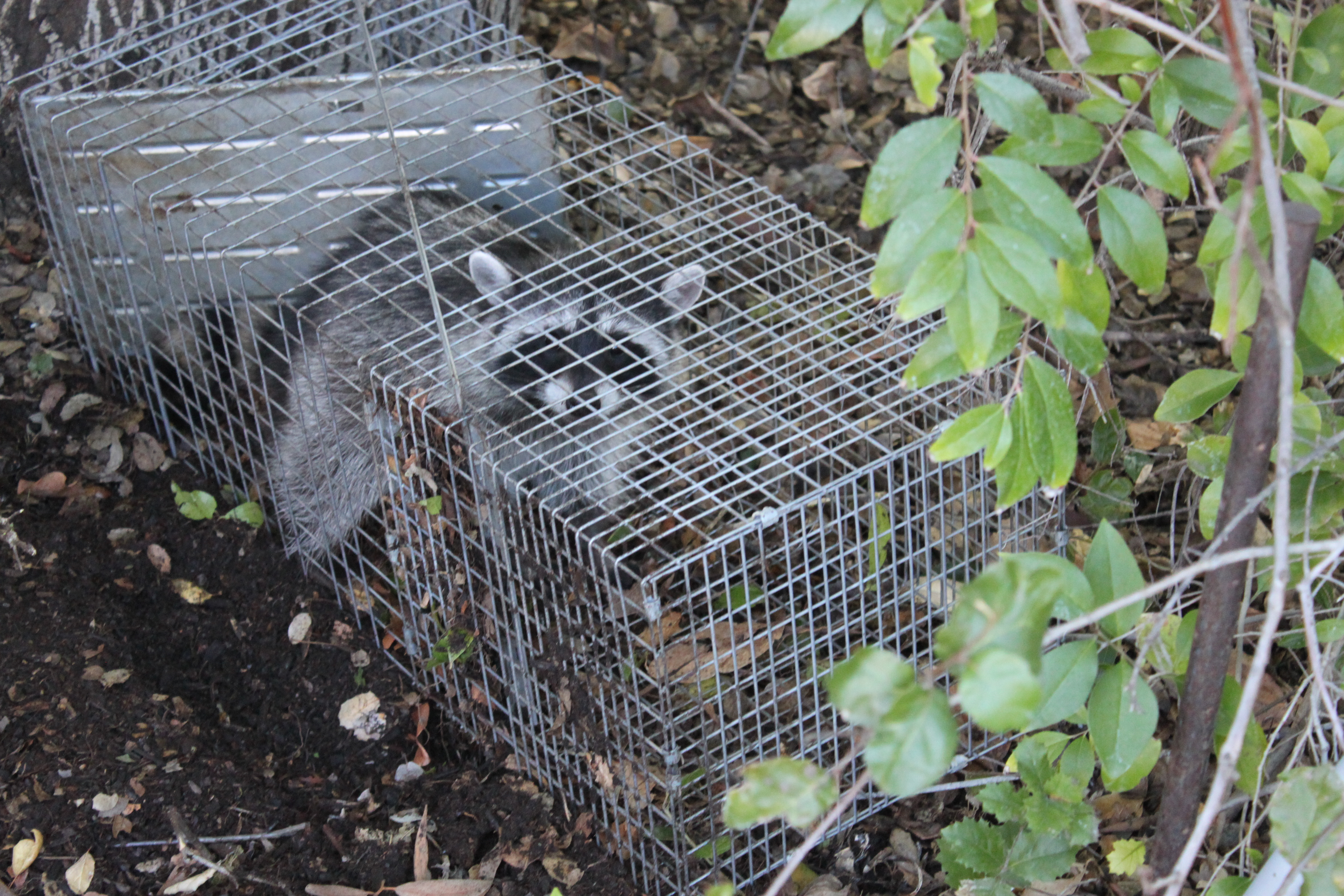 Here's a Quick Way to Catch a Raccoon